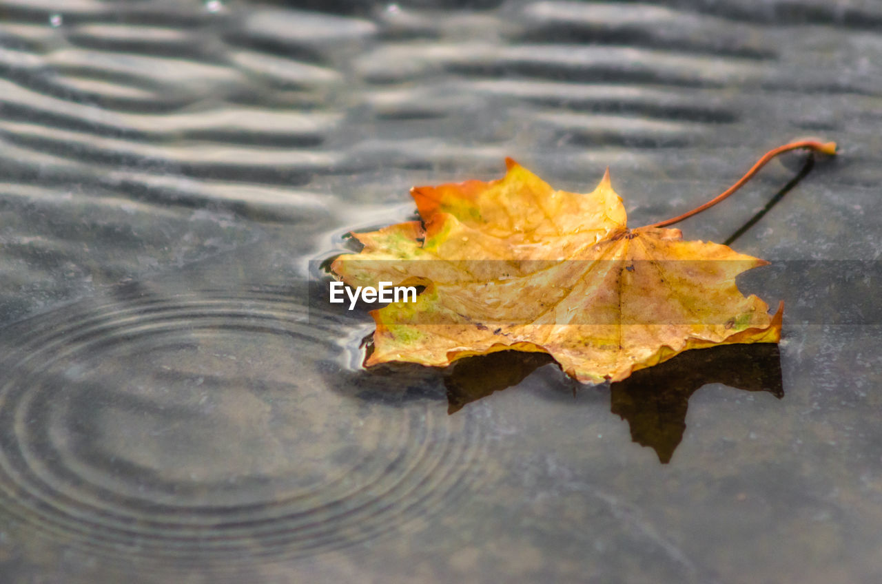 plant part, leaf, autumn, water, change, nature, no people, day, maple leaf, lake, close-up, floating, dry, high angle view, vulnerability, outdoors, reflection, falling, waterfront, floating on water, leaves, natural condition, purity
