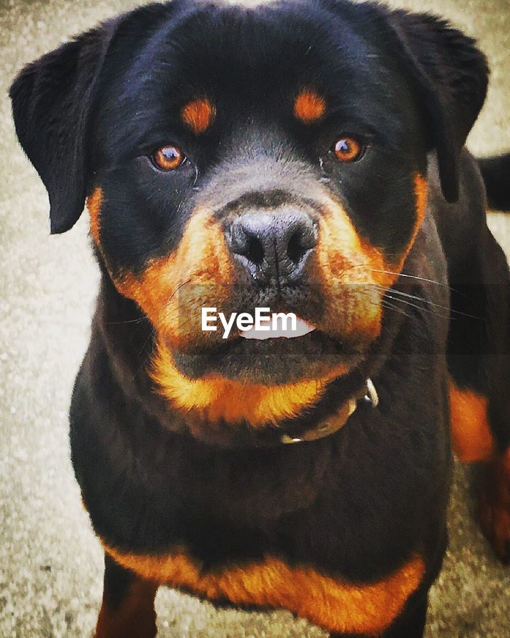 one animal, pets, canine, dog, mammal, domestic, domestic animals, animal themes, animal, vertebrate, rottweiler, black color, portrait, looking at camera, close-up, animal body part, day, focus on foreground, no people, animal head, purebred dog, snout