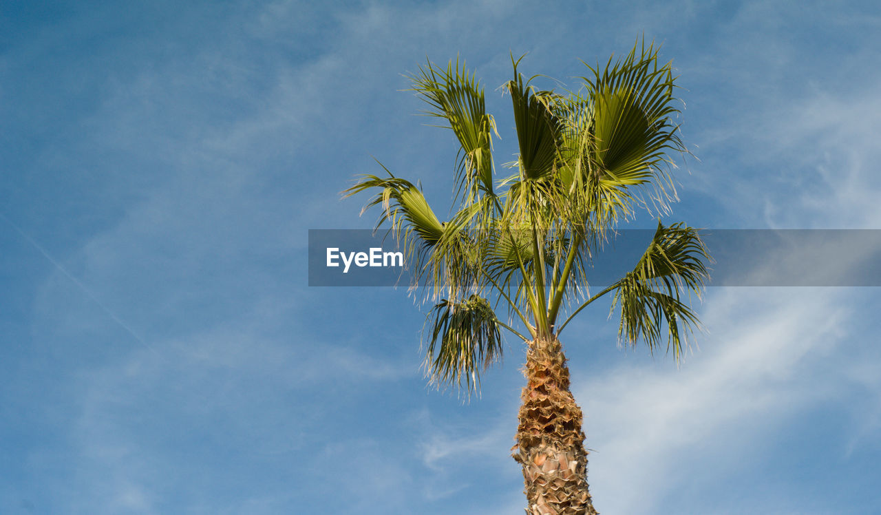 low angle view, palm tree, tree, sky, nature, growth, day, no people, beauty in nature, tree trunk, outdoors, blue, cloud - sky, branch, scenics