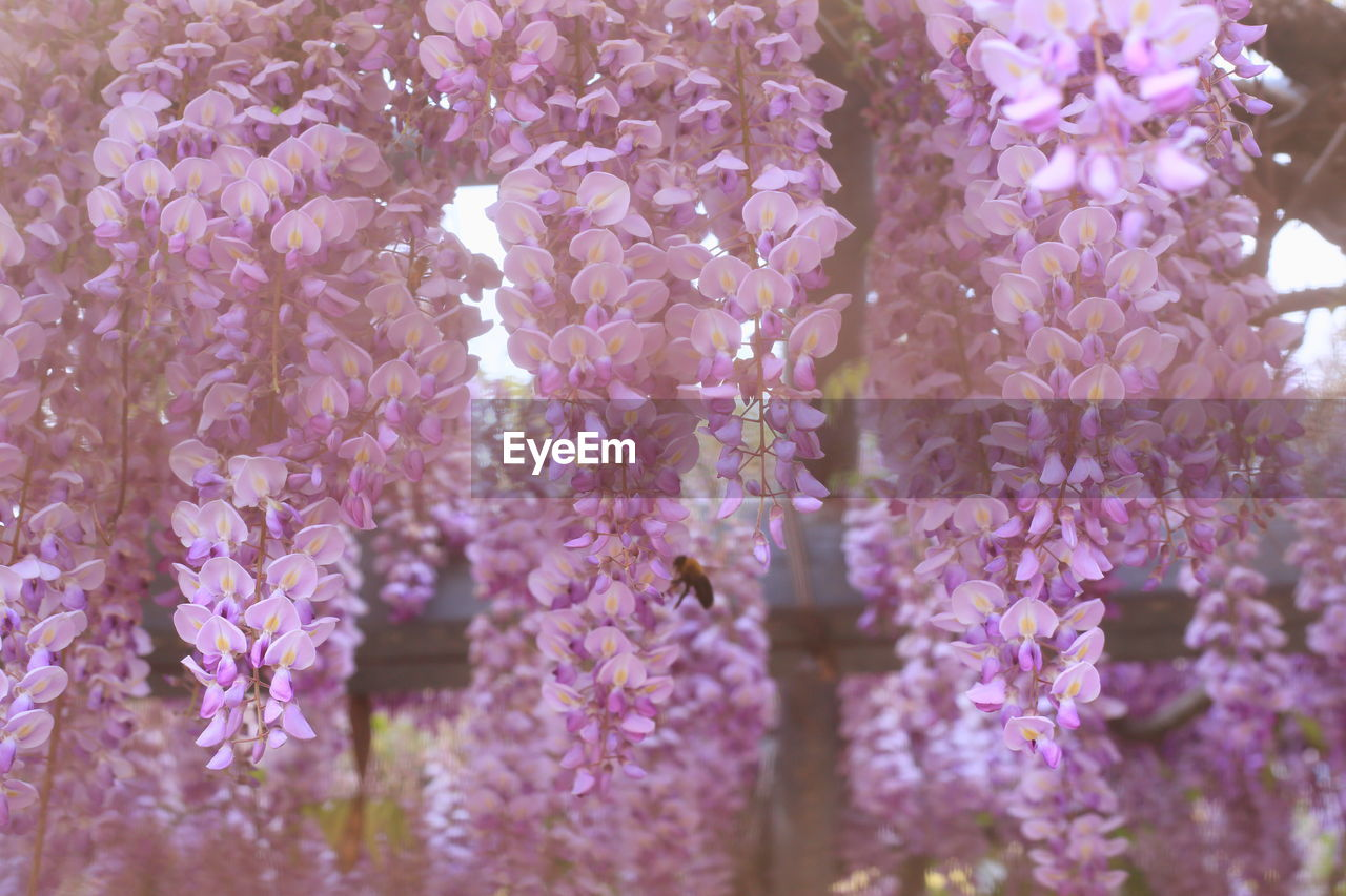 flowering plant, flower, plant, vulnerability, fragility, freshness, beauty in nature, growth, close-up, purple, nature, no people, day, wisteria, selective focus, vine, petal, outdoors, springtime, lavender, lilac, flower head, bunch of flowers
