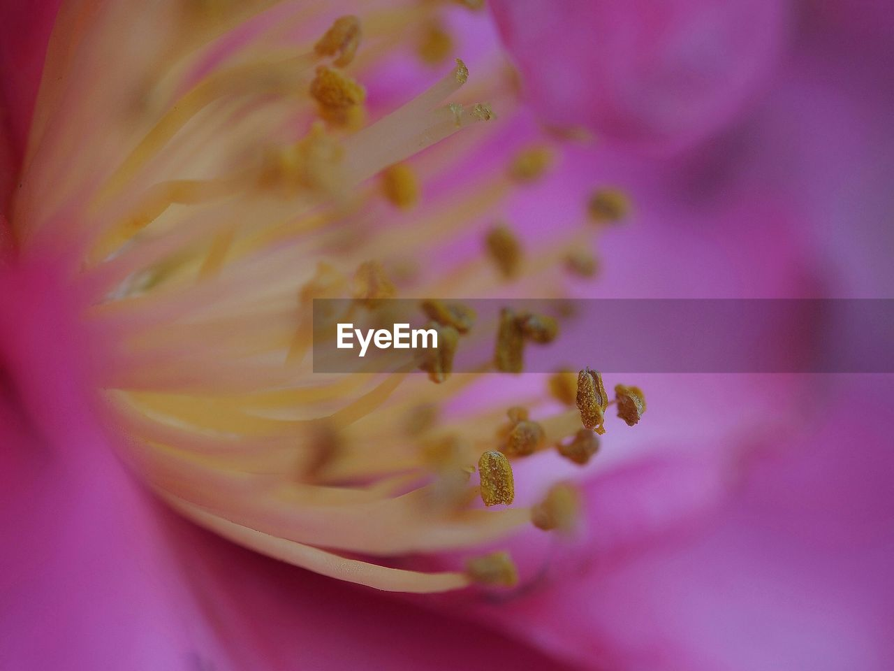 Close-up of pink flower with pollen