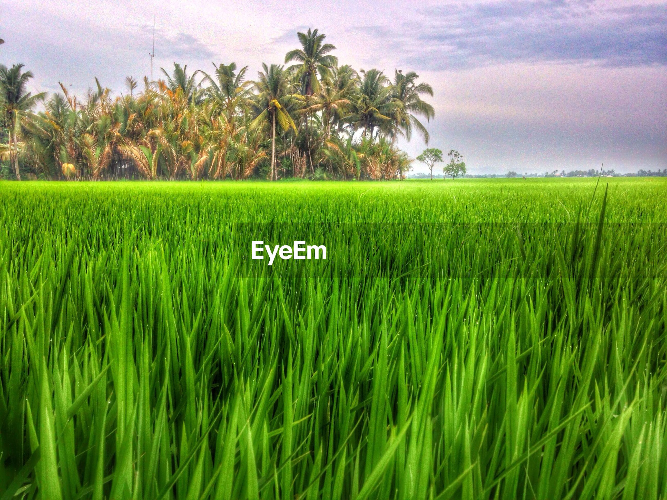 field, growth, agriculture, tranquility, tranquil scene, rural scene, green color, sky, landscape, crop, beauty in nature, nature, farm, scenics, grass, tree, cultivated land, green, cloud - sky, idyllic