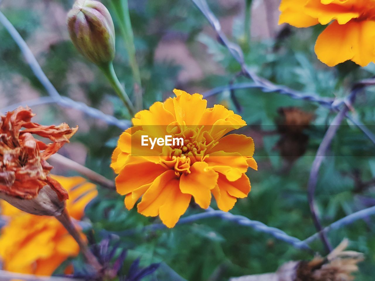 flowering plant, plant, flower, growth, beauty in nature, vulnerability, fragility, petal, close-up, freshness, inflorescence, flower head, focus on foreground, nature, yellow, no people, day, marigold, orange color, plant part