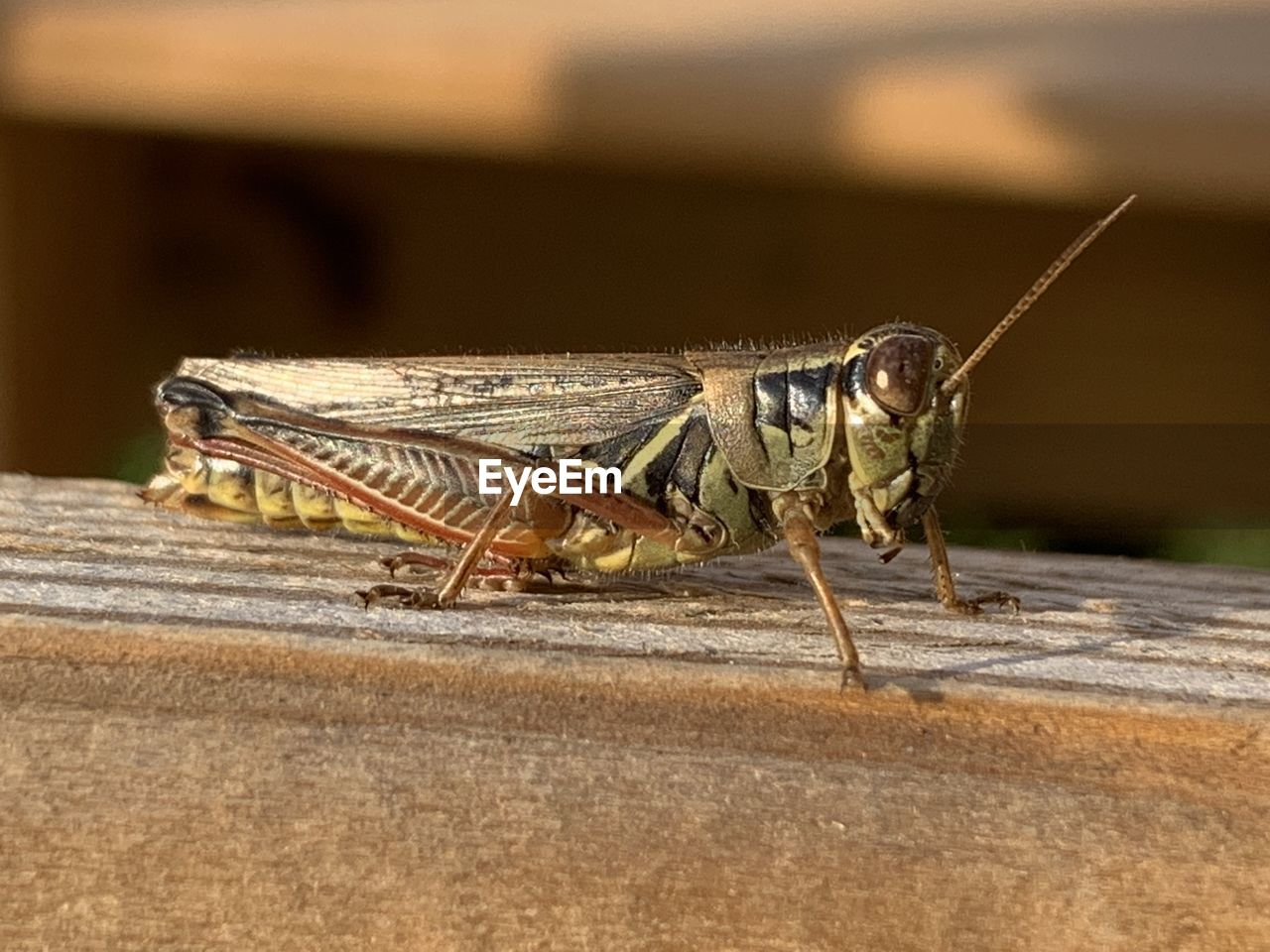 animal themes, animal, insect, animals in the wild, one animal, animal wildlife, invertebrate, grasshopper, day, close-up, no people, focus on foreground, outdoors, nature, wood - material, sunlight, selective focus, animal body part, zoology, side view