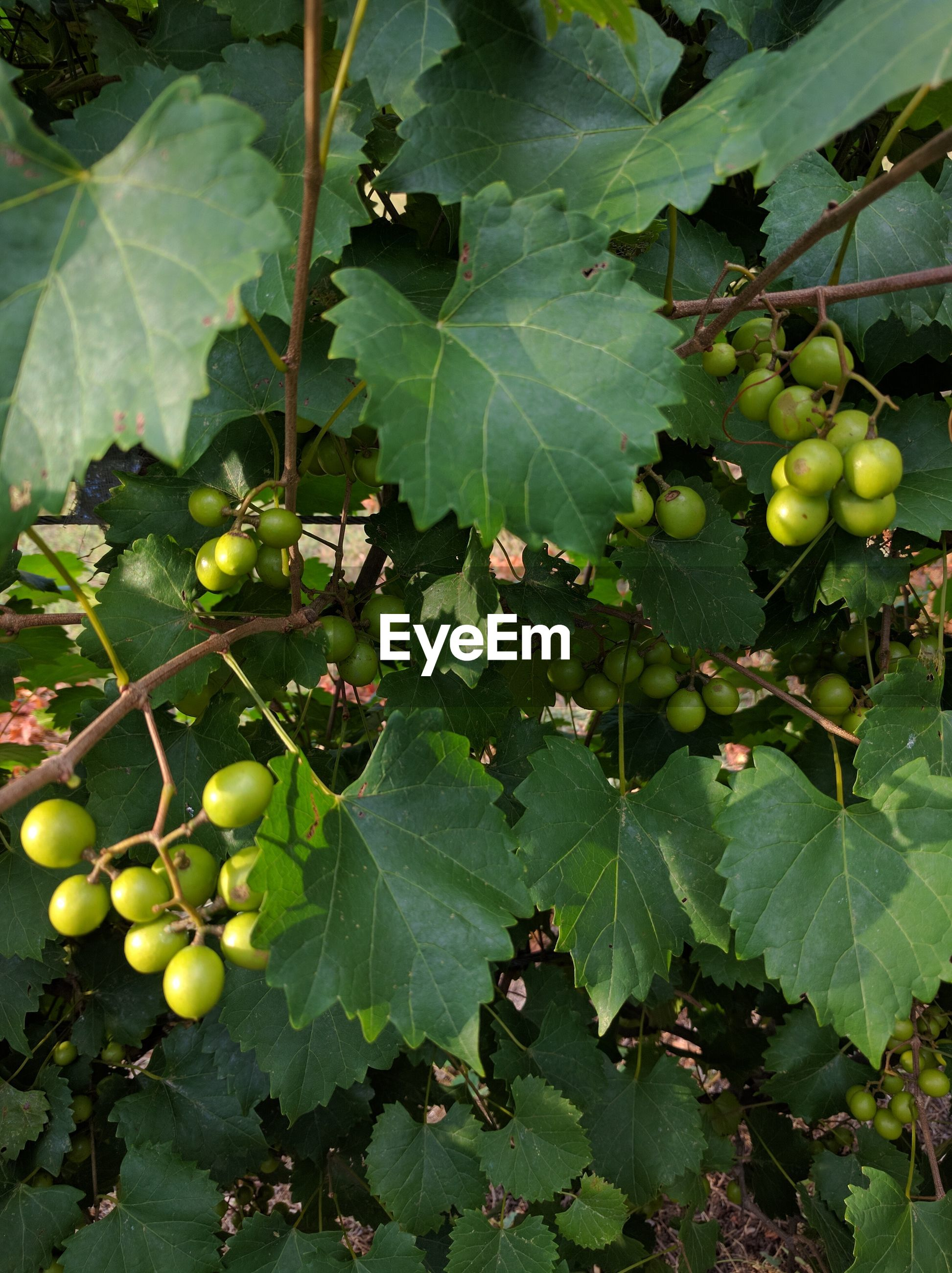 CLOSE-UP OF GRAPES HANGING FROM TREE