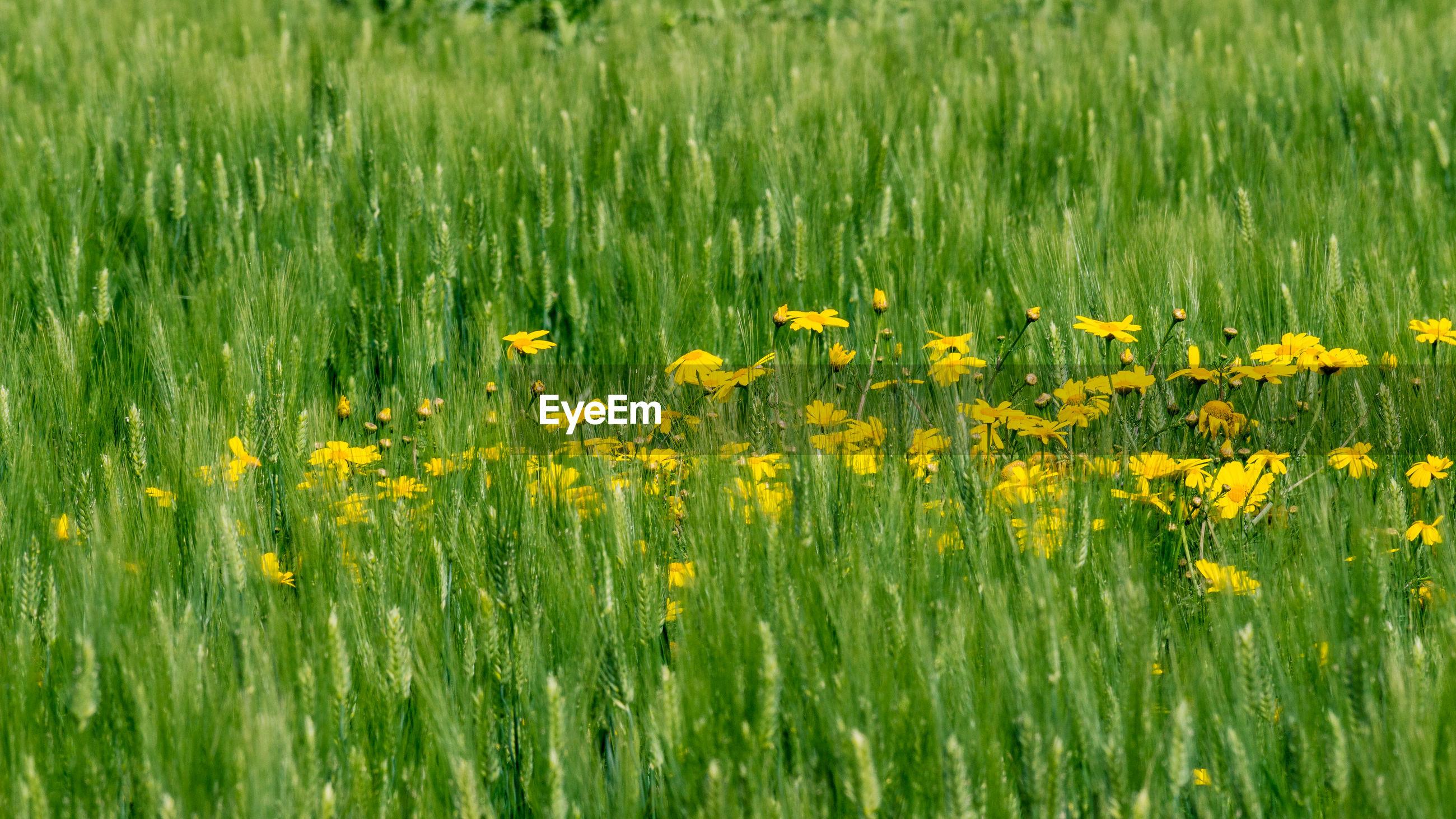 YELLOW FLOWERING PLANTS GROWING ON FIELD DURING RAINY SEASON