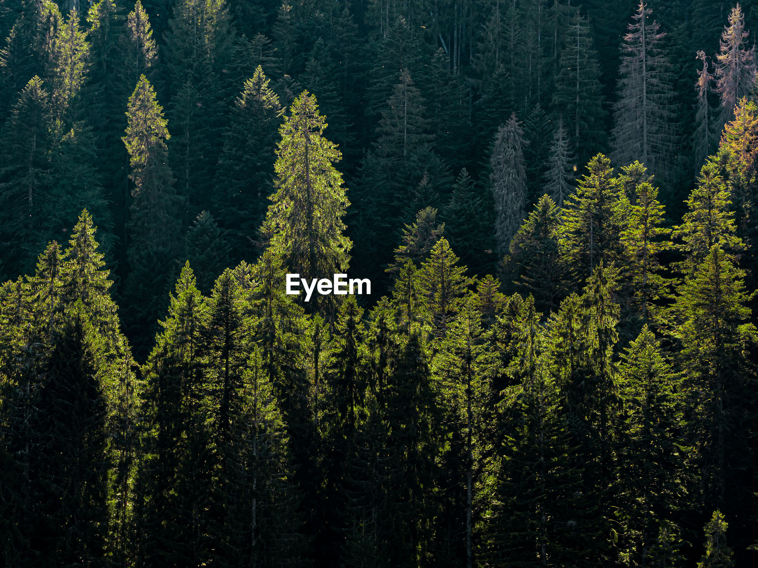 Pine trees in black forest germany