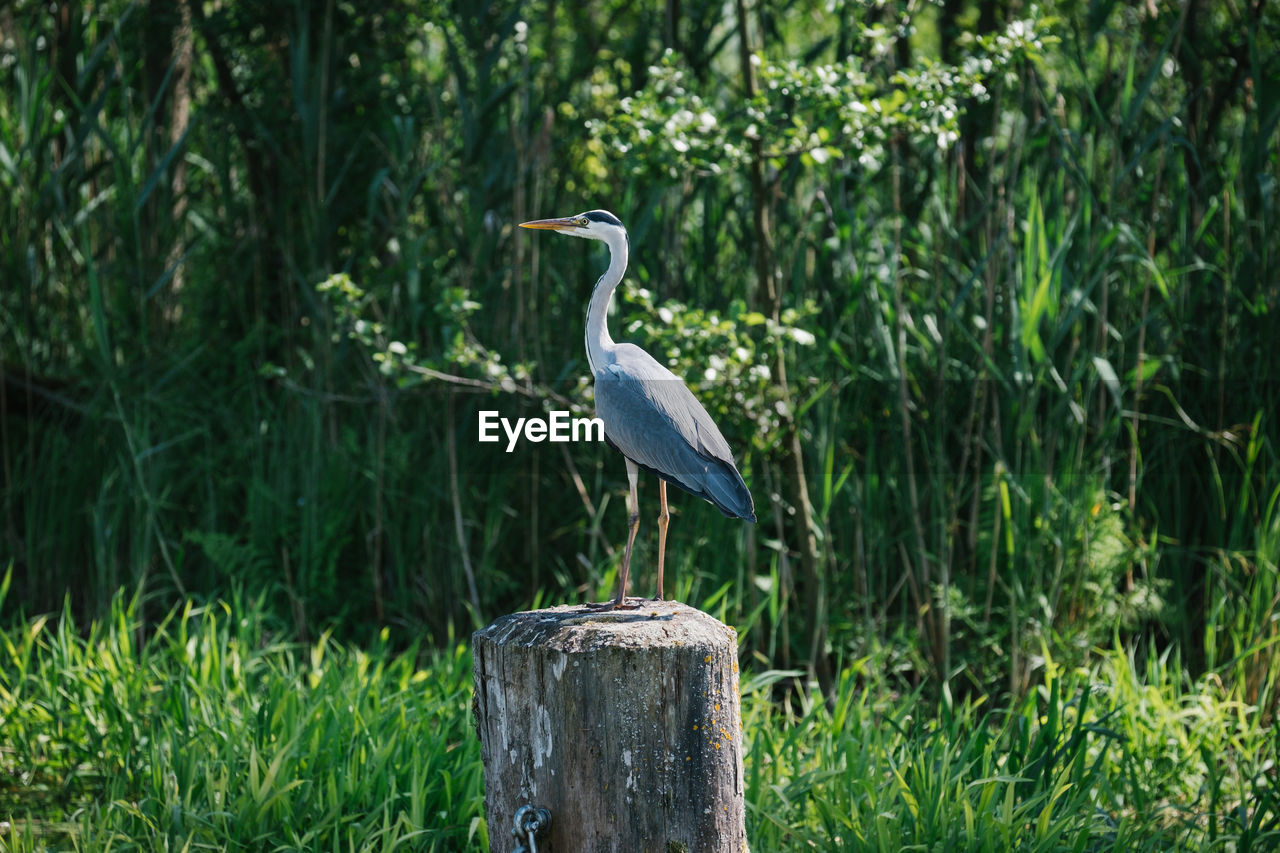 vertebrate, animal wildlife, animal themes, animals in the wild, bird, animal, plant, one animal, perching, heron, focus on foreground, wood - material, no people, wooden post, post, nature, day, green color, growth, tree