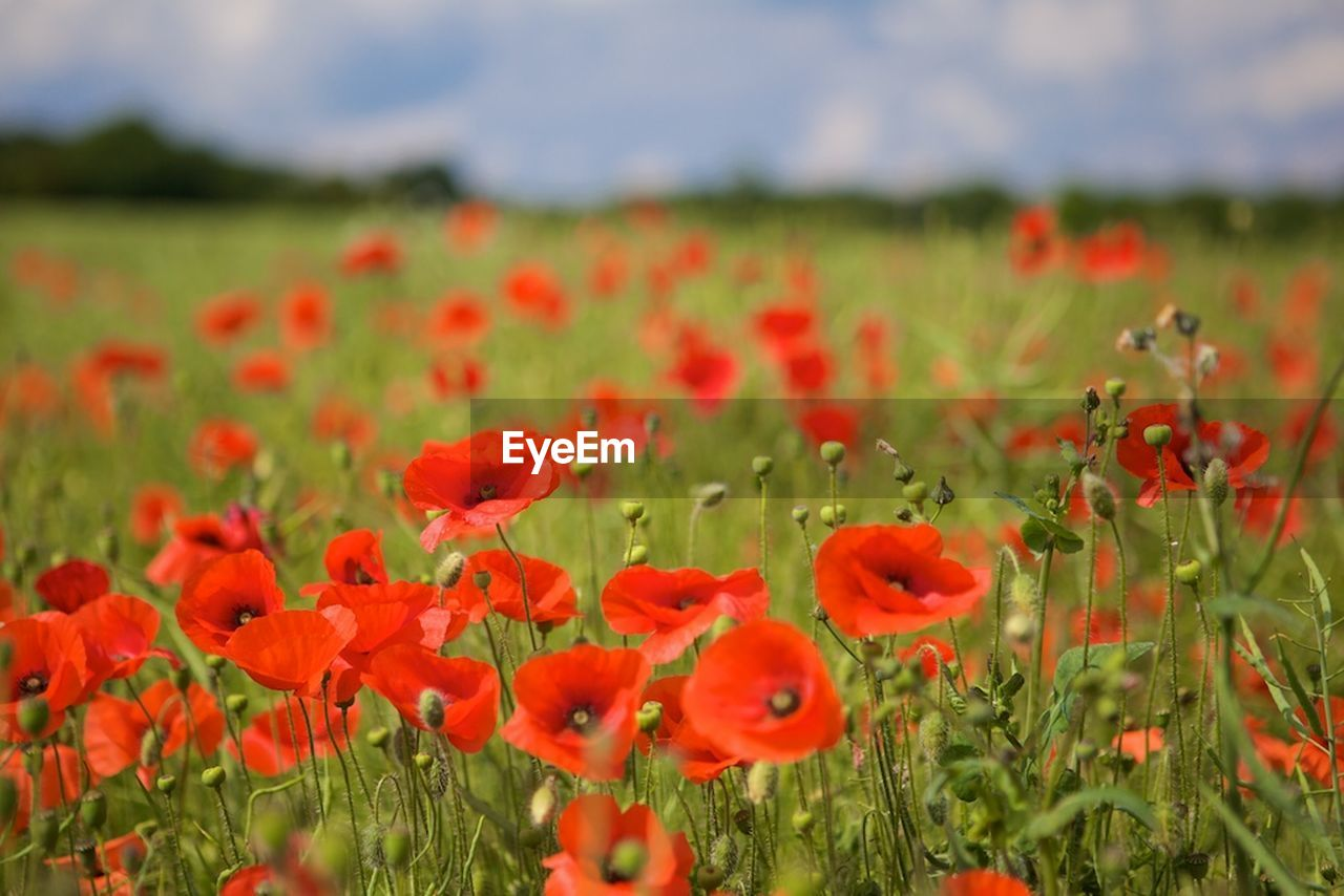 flower, flowering plant, plant, growth, red, fragility, vulnerability, poppy, field, land, beauty in nature, freshness, nature, close-up, landscape, petal, environment, no people, outdoors, inflorescence, flower head, bright, flowerbed, spring