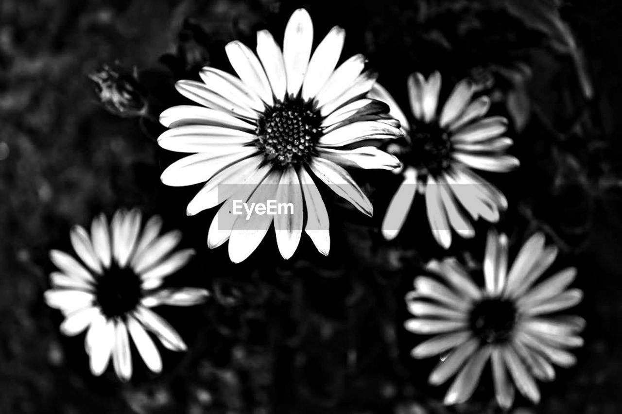 flower, petal, fragility, flower head, beauty in nature, freshness, nature, pollen, blooming, no people, growth, osteospermum, plant, close-up, day, outdoors, black-eyed susan, eastern purple coneflower