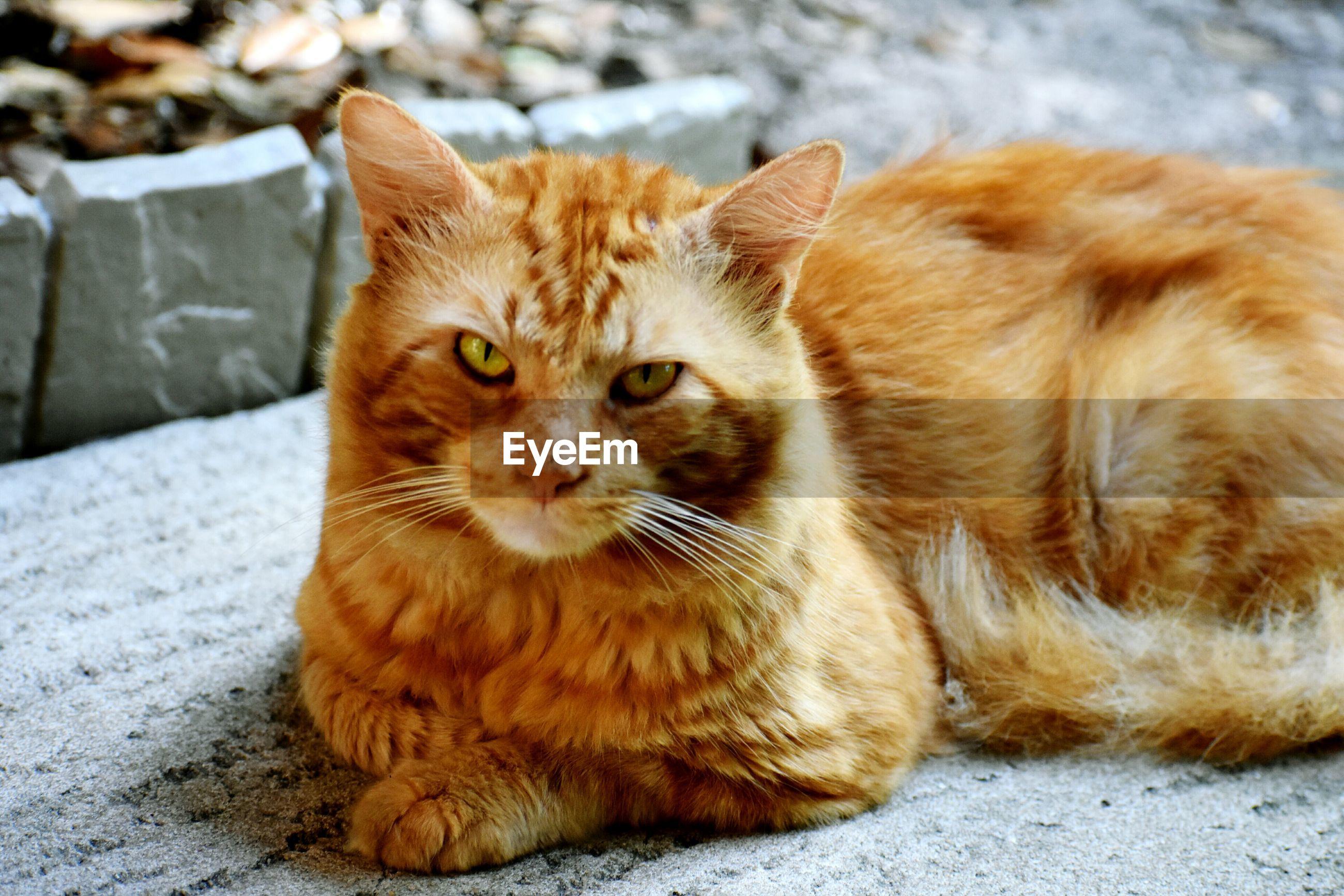 PORTRAIT OF GINGER CAT SITTING ON FLOOR