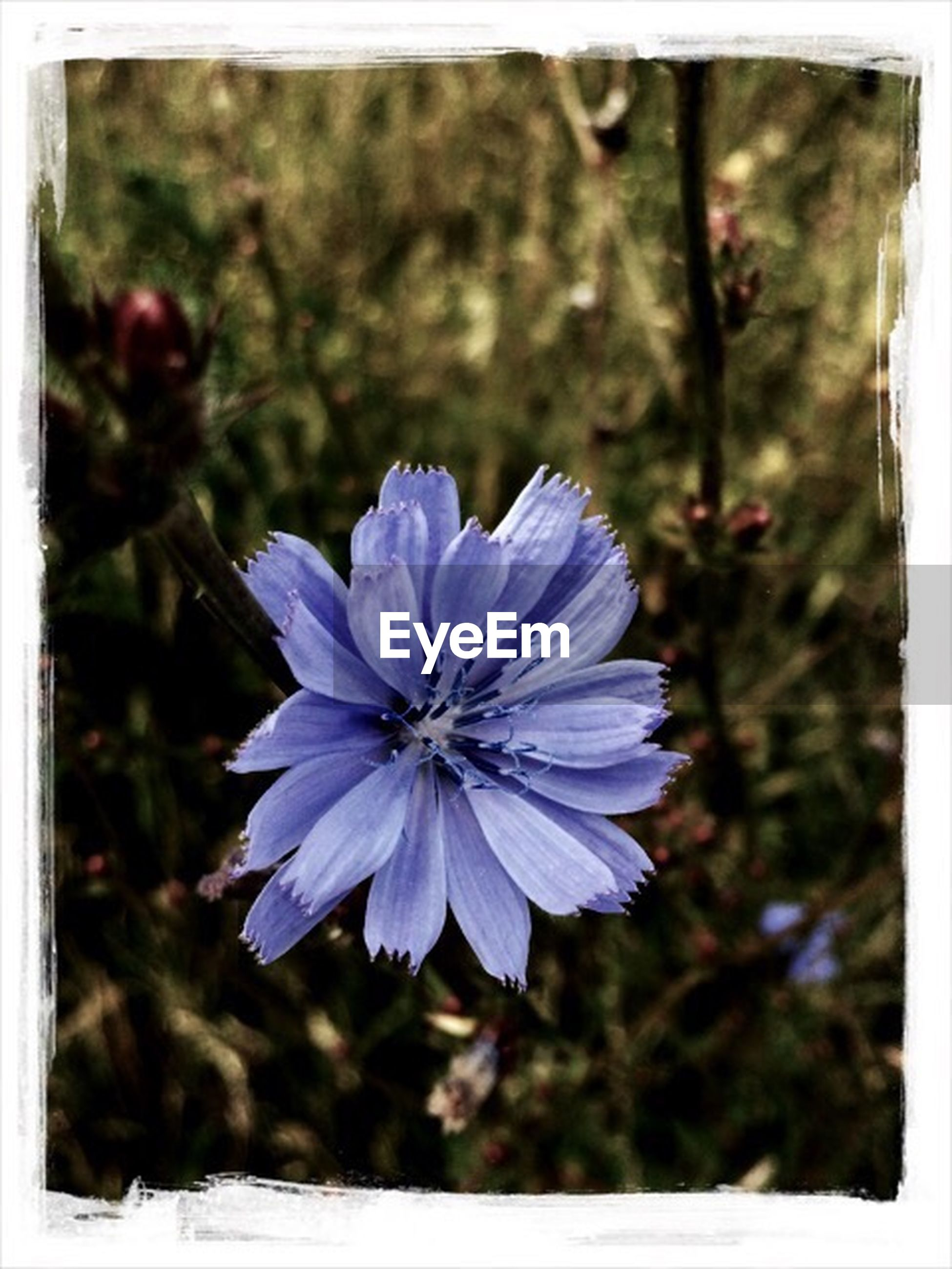 flower, purple, freshness, petal, flower head, fragility, growth, beauty in nature, close-up, focus on foreground, blooming, pollen, nature, blue, single flower, transfer print, in bloom, plant, auto post production filter, stamen