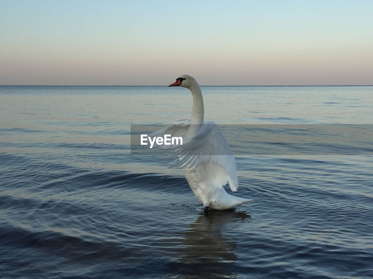 Swan swimming on sea against clear sky during sunset
