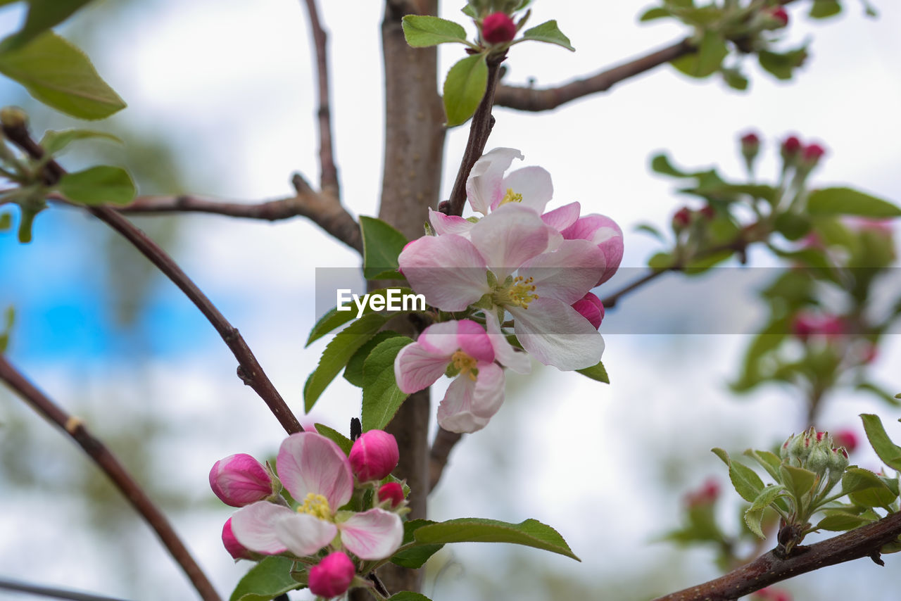 plant, flowering plant, flower, fragility, vulnerability, growth, beauty in nature, freshness, tree, petal, pink color, branch, blossom, close-up, nature, no people, flower head, inflorescence, focus on foreground, springtime, outdoors, cherry blossom, pollen, cherry tree, spring