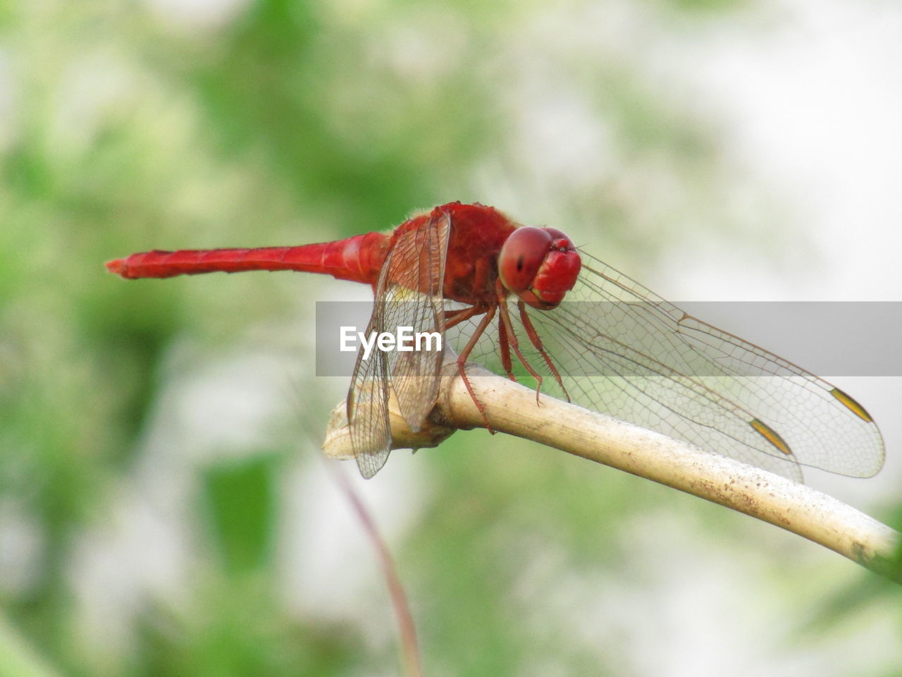 focus on foreground, red, animals in the wild, close-up, one animal, invertebrate, animal wildlife, day, insect, animal, no people, animal themes, plant, nature, beauty in nature, dragonfly, outdoors, growth, animal wing, flower