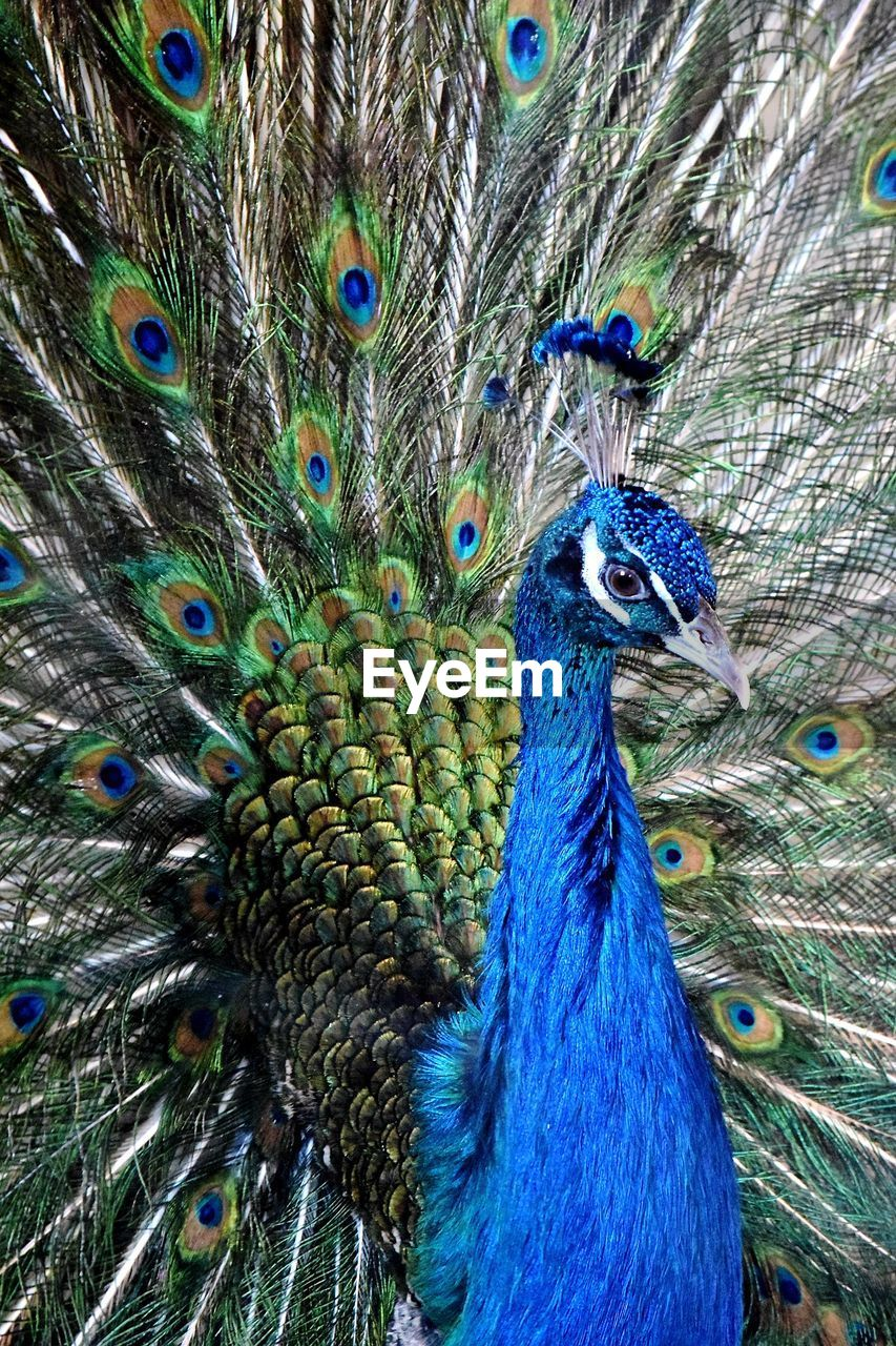 peacock, animal themes, bird, animal, vertebrate, one animal, animal wildlife, animals in the wild, peacock feather, feather, close-up, beauty in nature, fanned out, no people, animal body part, day, male animal, blue, nature, animal head, outdoors, animal neck, animal eye