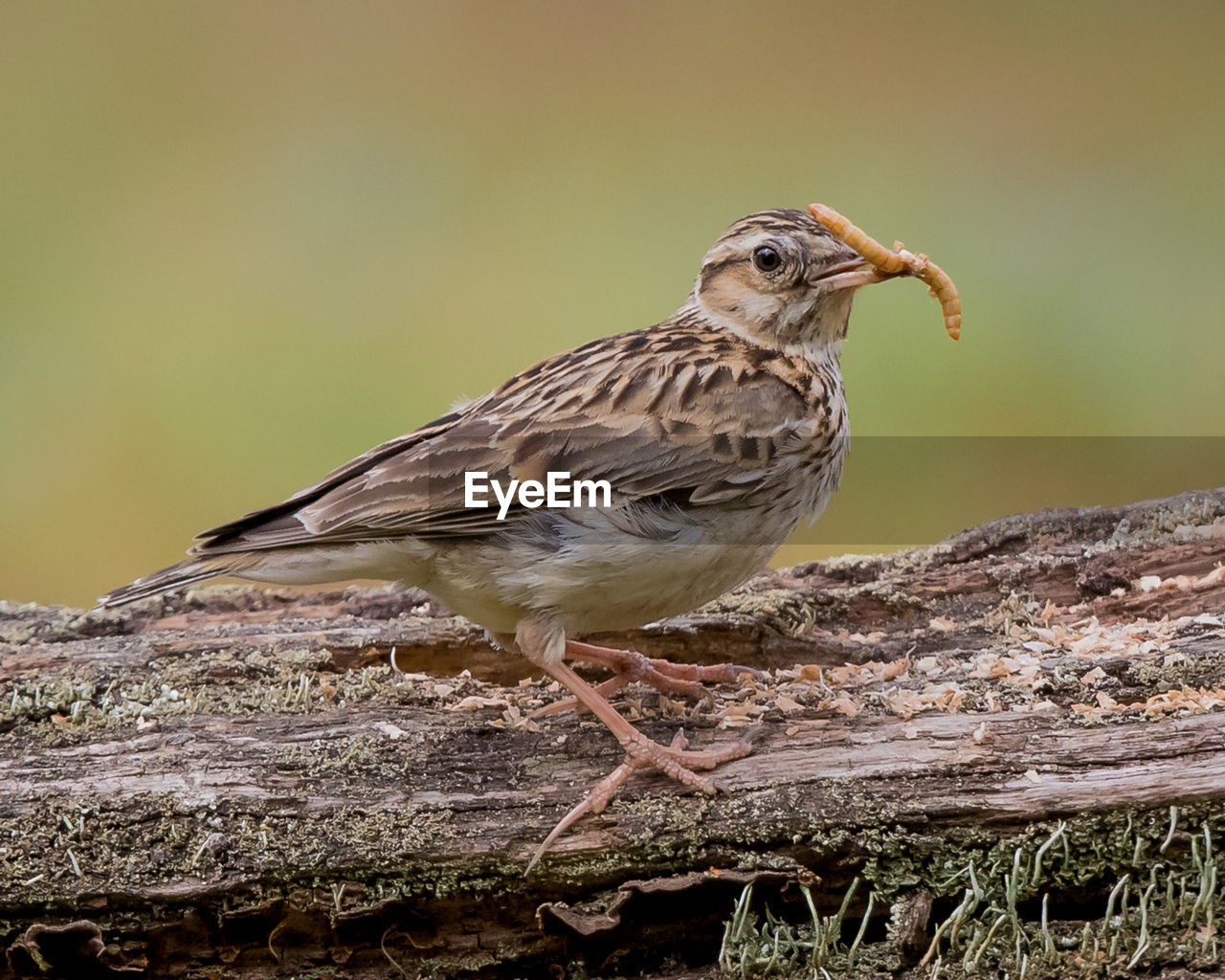 animal themes, animal, bird, animals in the wild, vertebrate, animal wildlife, one animal, perching, no people, focus on foreground, sparrow, day, close-up, outdoors, tree, nature, wood - material, full length, looking, looking away