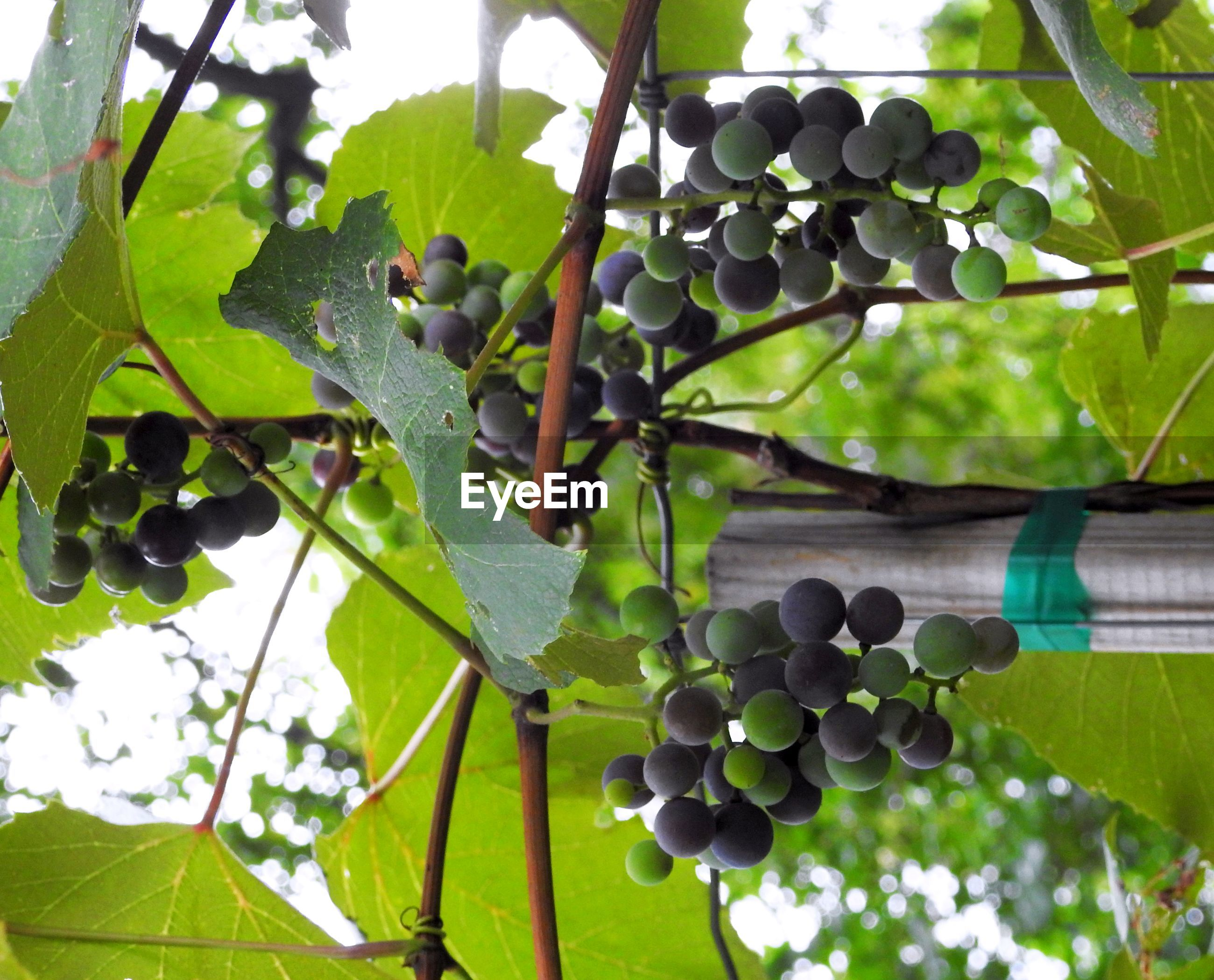 fruit, leaf, green color, growth, close-up, vine, freshness, tropical fruit, food and drink, creeper plant, plant, grape, nature, chainlink fence, sky, branch, vineyard, outdoors, day, beauty in nature, thorn