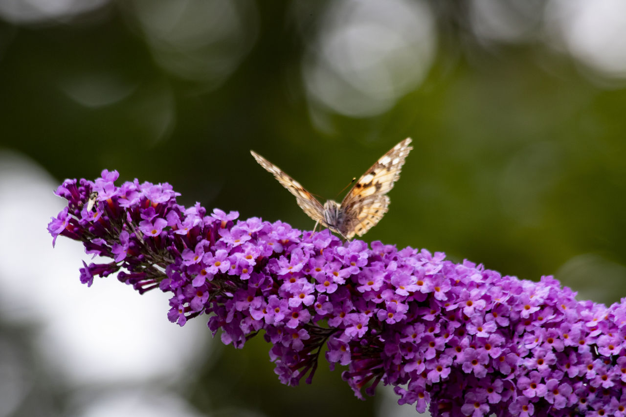 flowering plant, flower, vulnerability, fragility, plant, freshness, purple, growth, beauty in nature, close-up, animal, petal, invertebrate, insect, animal themes, one animal, flower head, animals in the wild, animal wildlife, day, no people, animal wing, pollination, butterfly - insect, lilac