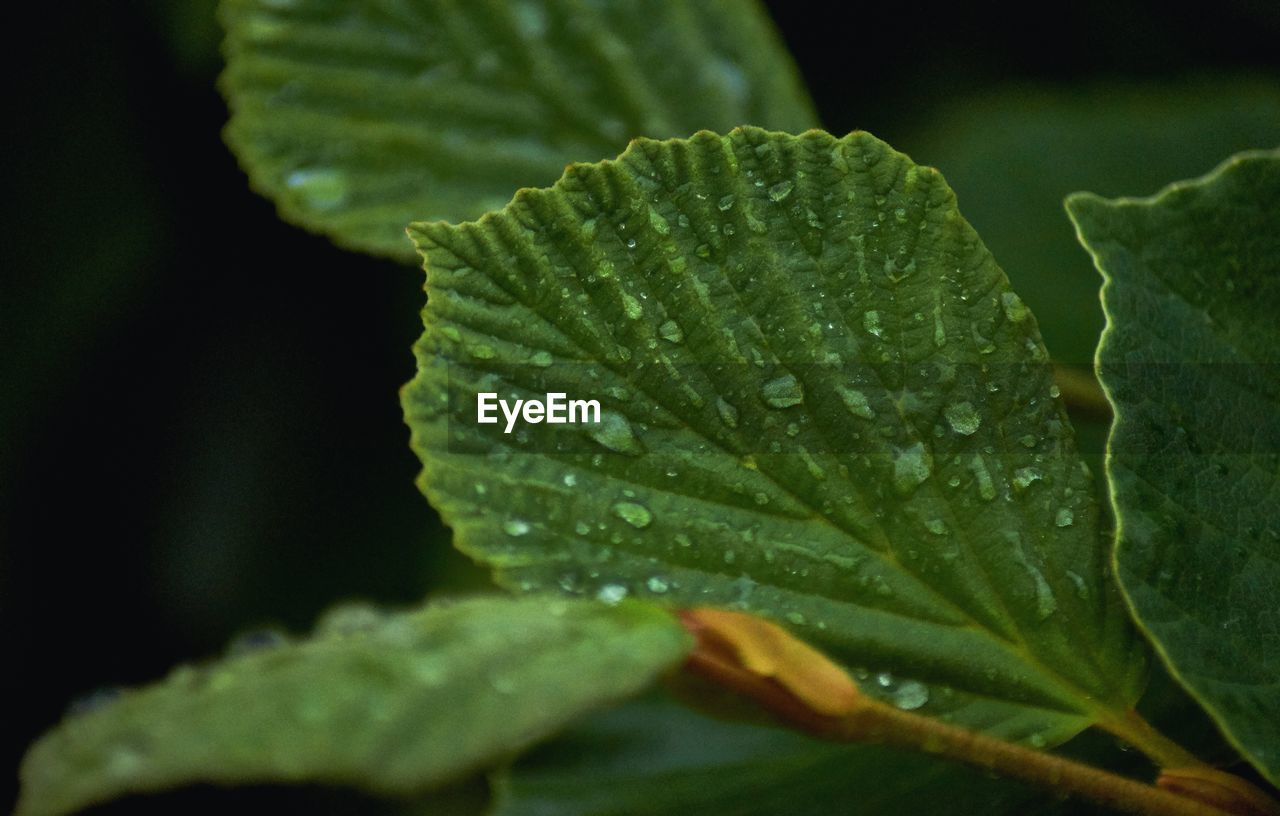 leaf, plant part, close-up, green color, drop, water, beauty in nature, plant, wet, growth, no people, selective focus, nature, day, freshness, focus on foreground, outdoors, leaves, raindrop, dew, purity