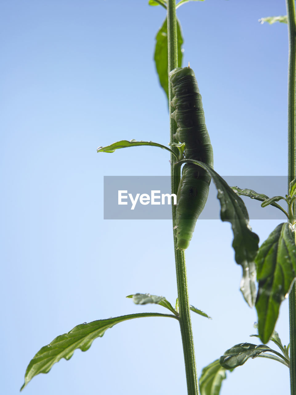 growth, plant, nature, sky, leaf, plant part, clear sky, green color, low angle view, no people, beauty in nature, close-up, day, blue, plant stem, copy space, outdoors, focus on foreground, tranquility, freshness, sepal