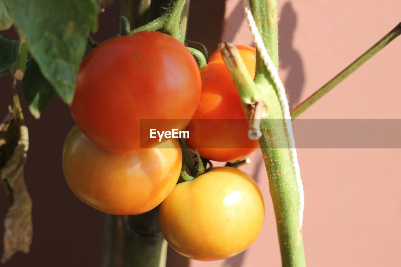 CLOSE-UP OF FRUITS ON TOMATOES