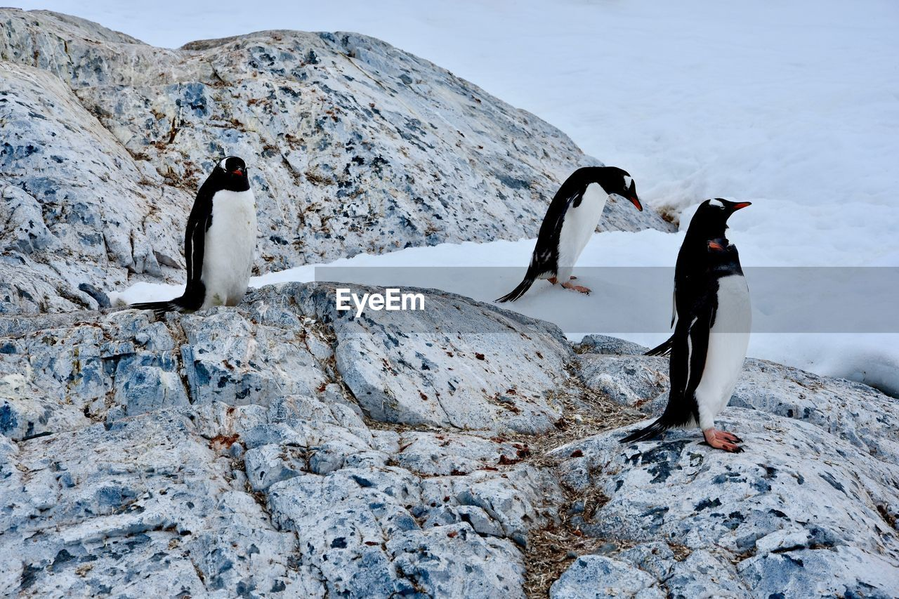 bird, animal themes, animals in the wild, rock, penguin, animal wildlife, animal, vertebrate, rock - object, solid, nature, no people, day, group of animals, cold temperature, beauty in nature, black color, snow, water, outdoors