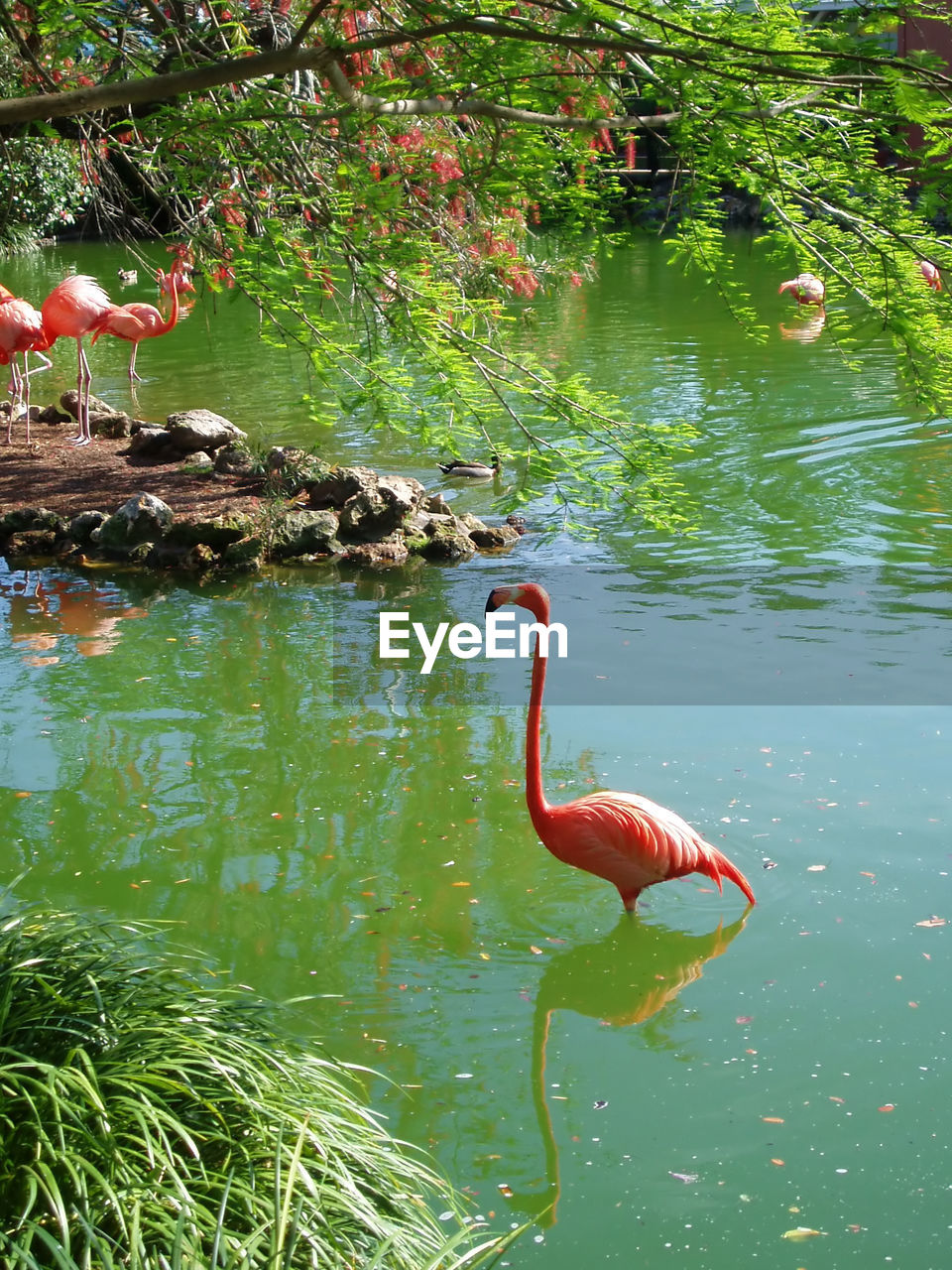 animal themes, animal, vertebrate, animals in the wild, animal wildlife, water, lake, plant, bird, one animal, nature, flamingo, reflection, day, no people, beauty in nature, animal neck, outdoors, floating on water