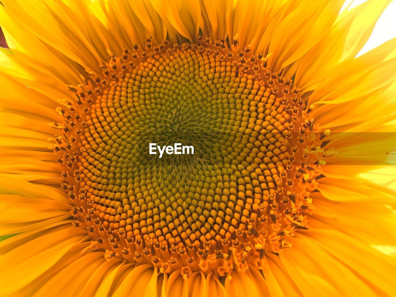 flowering plant, flower, fragility, freshness, plant, yellow, flower head, beauty in nature, vulnerability, growth, inflorescence, petal, close-up, pollen, backgrounds, full frame, nature, sunflower, no people, outdoors