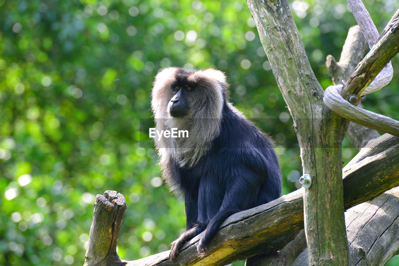 Low angle view of lion tailed macaque sitting on branch