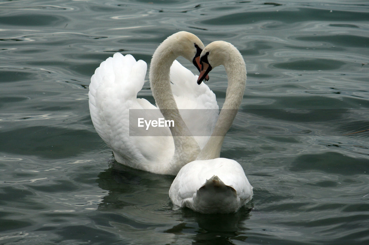 Swans forming heart shape in lake