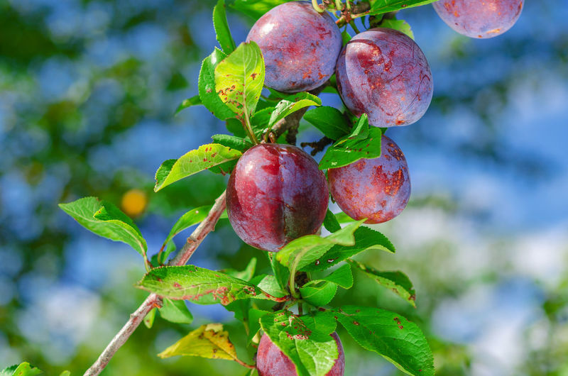 Close-up of cherries growing on tree