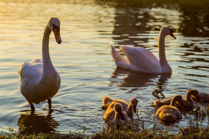 Swan Family Swimming In Lake