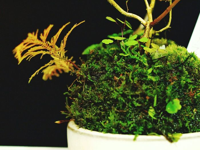 苔生き生きShida Macro Photography Macro Japan Cute Natural Photo Boke Kokedama EyeEm Nature Lover Koke Green