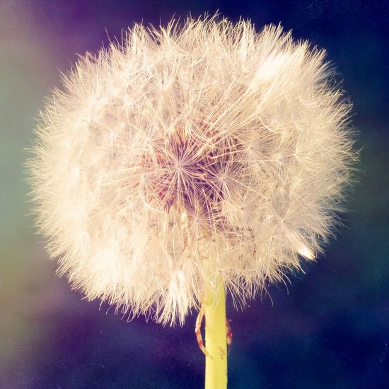 Hello World Good Times Like Summer Dandelion Flowers Garden Nature