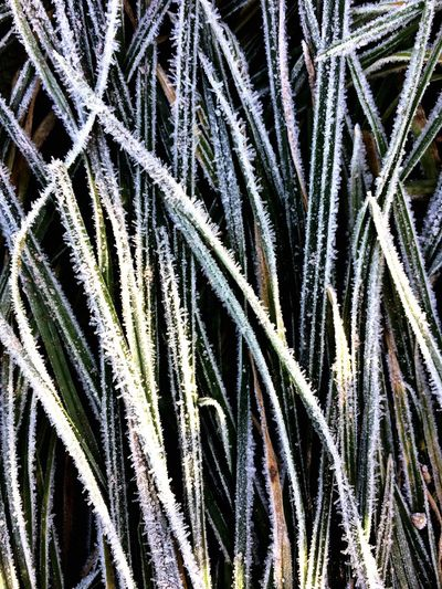 Perspectives On Nature Frosty blades of grass on a cold winter morning Backgrounds Full Frame No People Nature Plant Growth Close-up Pattern Outdoors Beauty In Nature Cold Frost Frosty Mornings Frosty Winter Wintertime Lines Grass Grassy Shades Of Winter