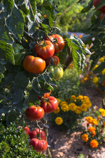 Growing tomatoes Focus On Foreground Food Freshness Fruit Growth Healthy Eating No People Outdoors Plant Plant Part Red Ripe Tomato Vegetable