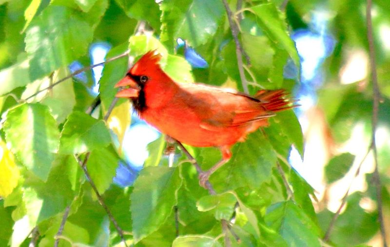 Cardinal In The Wild Animals In The Wild Beautiful Red Bird With Leaves Bird Branch Nature Perching Red