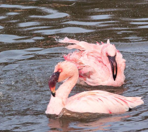 Bird Water Lake Animal No People Rippled Outdoors Day Flamingo