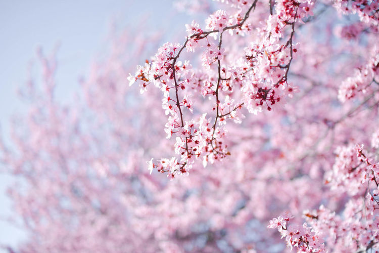 Beauty In Nature Blossom Branch Bunch Of Flowers Cherry Blossom Cherry Tree Close-up Day Flower Flower Head Flowering Plant Fragility Freshness Growth Nature No People Outdoors Petal Pink Color Plant Plum Blossom Springtime Tree Vulnerability