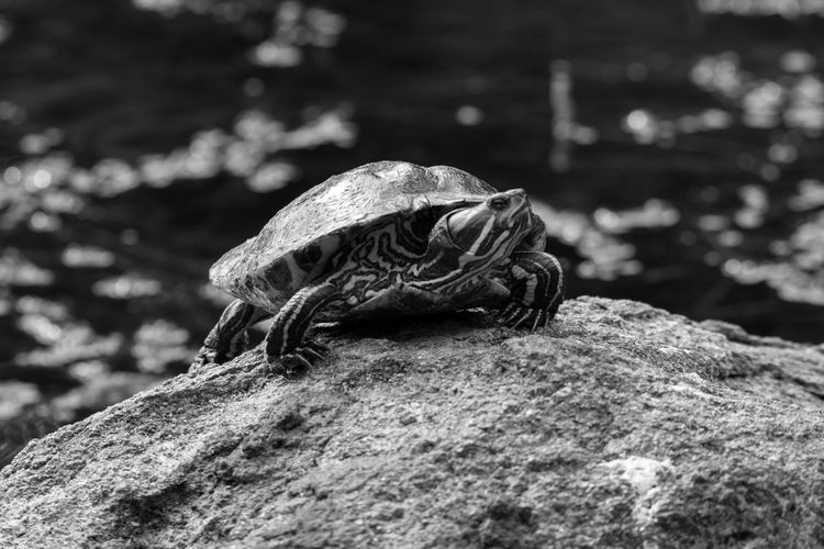 Close-up of turtle on rock by water