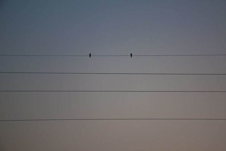 Bird Rice Field Cable Sky Vertebrate Bird Low Angle View Animal Wildlife Animal Themes Perching Animals In The Wild Animal Group Of Animals Clear Sky Connection Electricity  Silhouette Nature Power Line  No People Copy Space Day Outdoors Power Supply Telephone Line