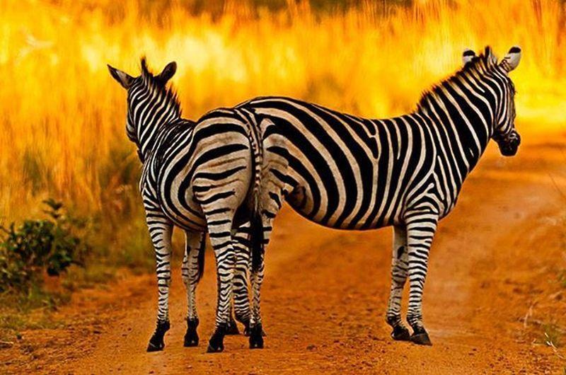 Zebras in the Limpopo Provence South Africa Zebra Africa Southafrika Limpopo Kolologamereserve Kololo Travee