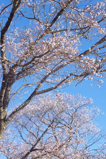 秋 桜山公園 冬桜 桜 群馬県