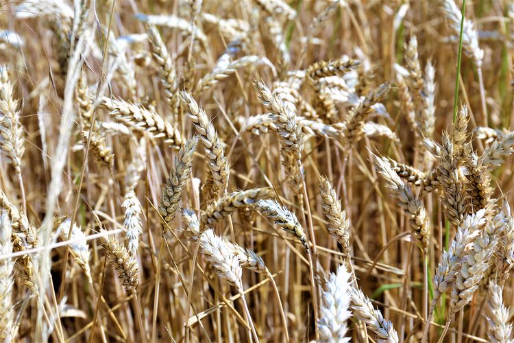 Rural Scene Land No People Close-up Wheat Beauty In Nature Agriculture Field Plant Cereal Plant Crop  Farm Tranquility Outdoors Growth Nature Landscape Day