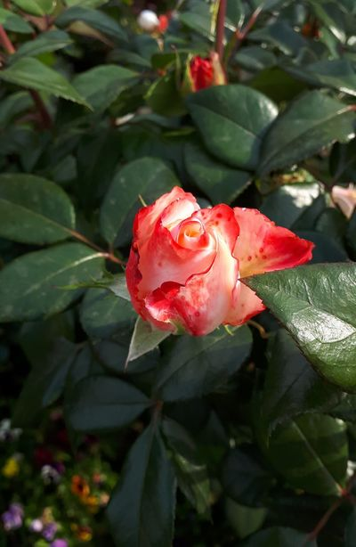 Flower Head Flower Prickly Pear Cactus Leaf Red Rose - Flower Pink Color Petal Springtime Close-up