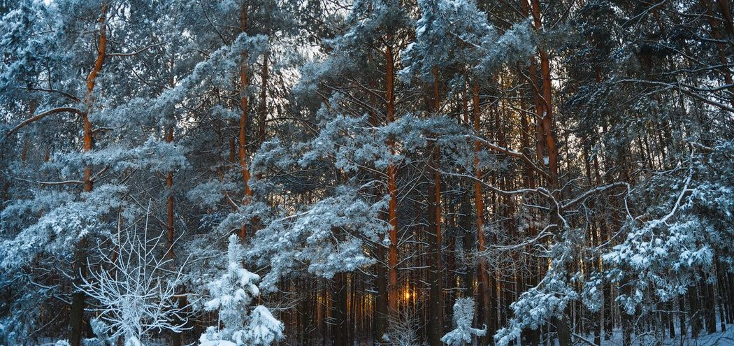 Fir Forest Pine Tree Pine Woodland Winter Woodland Shades Of Winter Sunset In Forest Winter Nature Winter Forest Panoramic View Evening Forest Belarus Nature Evening Colors Full Frame Backgrounds Low Angle View No People Nature Cold Temperature Day Outdoors Tree Winter Beauty In Nature Snow