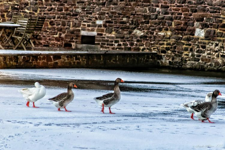 Bird Snow Water Animal Themes Winter Animals In The Wild Cold Temperature Nature Outdoors Animal Wildlife Day Beauty In Nature Perching No People Goose Geese Geese In A Row Le Vieux Château De Neuville En Condroz Birds Of EyeEm  Frozen Lake Lake Winter Greylag Goose