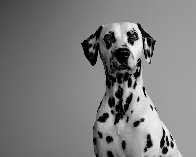 Portrait Of Dalmatian Dog Against Gray Background