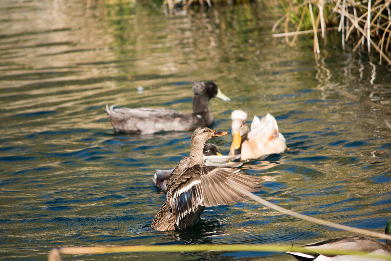 animals in the wild, water, lake, animal themes, bird, animal wildlife, nature, no people, swimming, outdoors, day, togetherness, swan